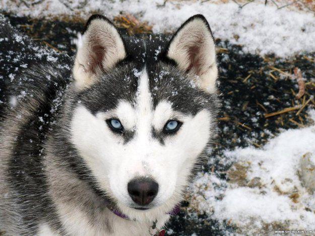 Выставка собак северных пород
