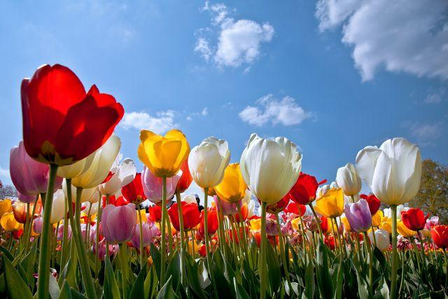 artens-tulip