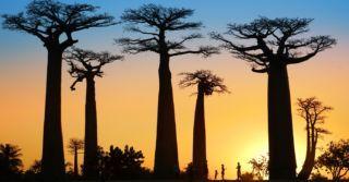 Баобаб-страна: Что смотреть и чего не бояться на Мадагаскаре