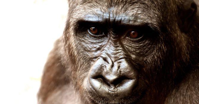 Коронавирус в Африке: большие обезьяны оказались на карантине