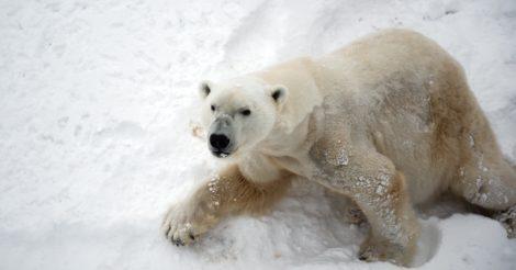 Белые медведи могут исчезнуть к концу века