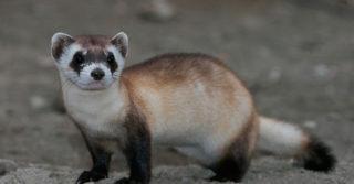 В США впервые клонировали животное: вид находится под угрозой вымирания